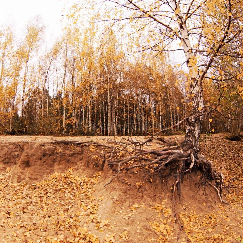 Herbstlicher Park Herbstlandschaft mit Birke im Vordergrund Zerquetschter sandiger Boden, bloße Baumwurzeln stockfotografie