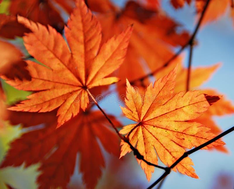 Herbstliches Ahornblatt stockfoto