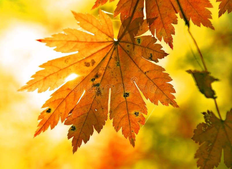 Herbstliches Ahornblatt und Sunbeam stockfotografie