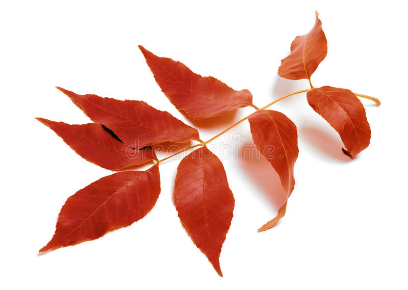 Herbstliches Blatt auf Weiß lizenzfreies stockfoto