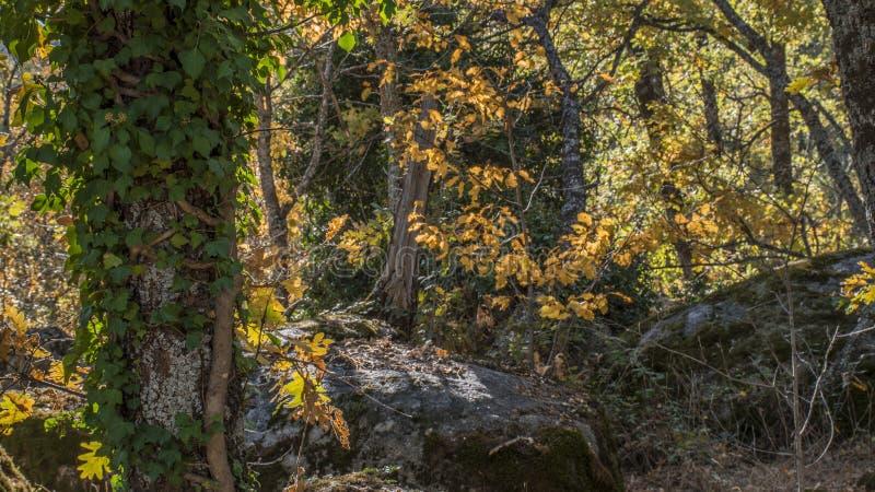 Herbstliches Detail des La Herreria-Eichenwaldes, San Lorenzo del Escor stockfotografie