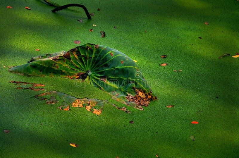 Herbstlotosblatt im grünen Teich stockbild