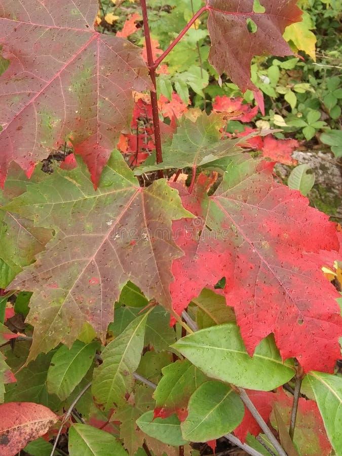 Herbstmapelblätter 2 lizenzfreies stockfoto