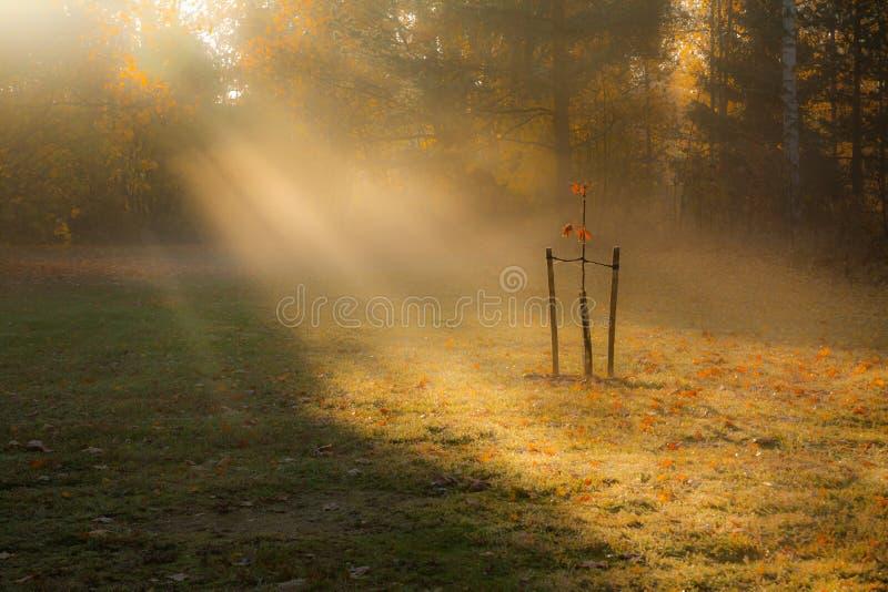Herbstmorgensonnen-Lichtstrahlen, die durch die Bäume und den Nebel zum jungen kleinen Baum durchbohren lizenzfreie stockfotos
