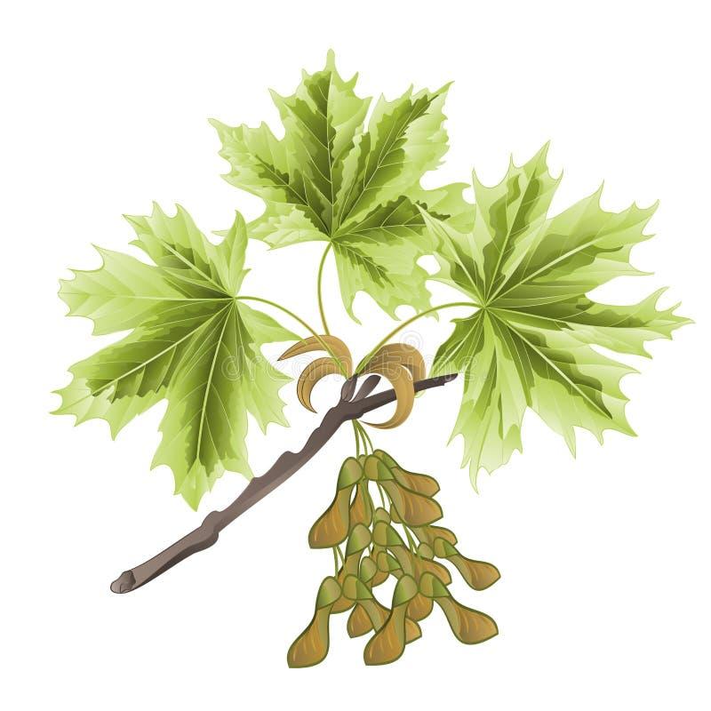Herbstniederlassung des Ahorns mit mehrfarbigem Blattsommerthema lokalisiert auf der weißen Weinlesevektorillustration editable stock abbildung