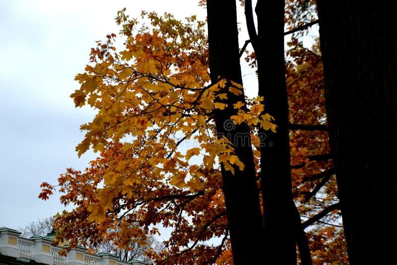 Herbstniederlassung mit gelben Blättern lizenzfreies stockbild