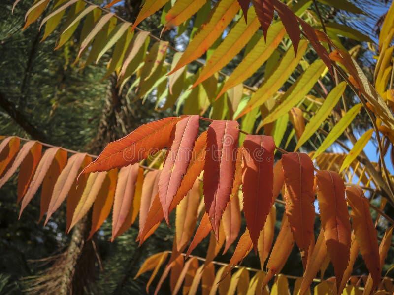 Herbstpalette von Farben und von Schatten auf den Blättern von Rhus typhina Staghorn-sumac, Anacardiaceae Rotes, orange, gelbes u stockfotografie