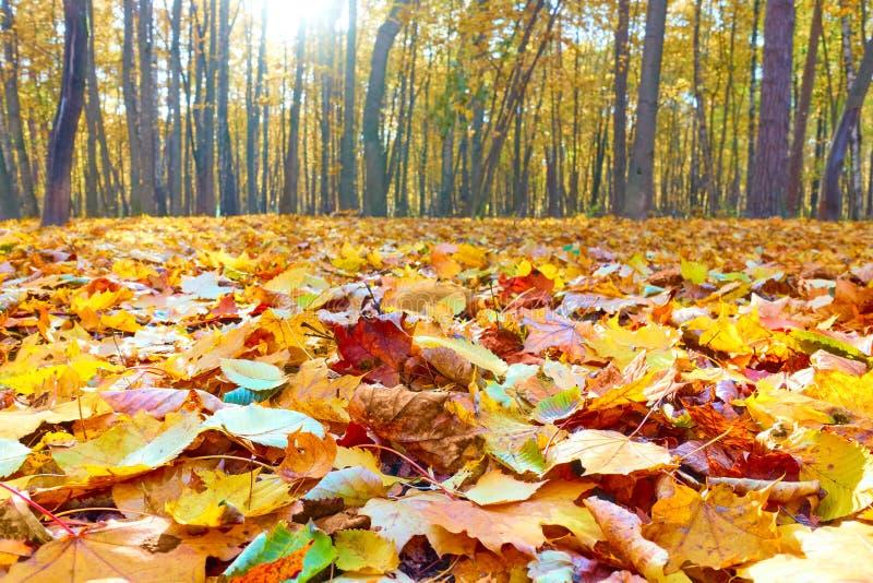 Herbstpark mit Ahornb?umen lizenzfreie stockfotos