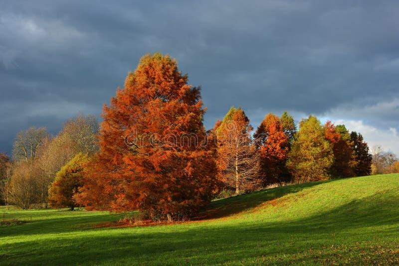 Herbstpark mit Metasequoia lizenzfreie stockfotografie