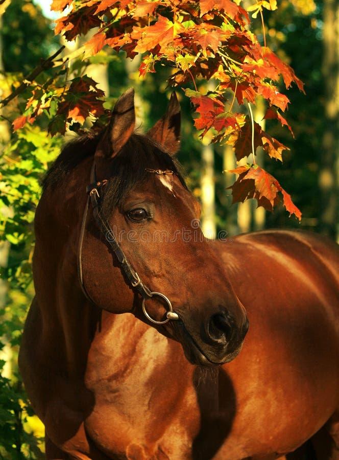 Herbstportrait des wundervollen Schachtpferds stockbilder