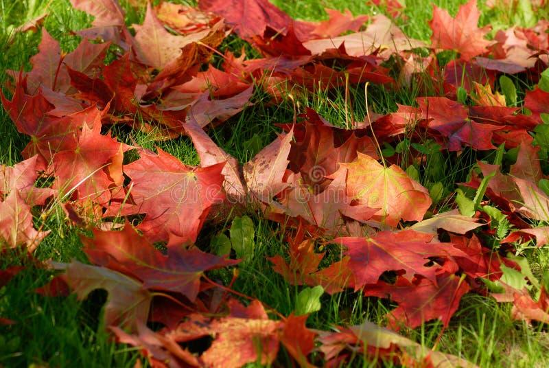 Herbstrotblatt lizenzfreie stockfotografie