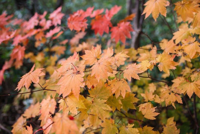 Herbstsaison-, Gelbe und Rotefarben von japanischen Ahornblättern stockfoto