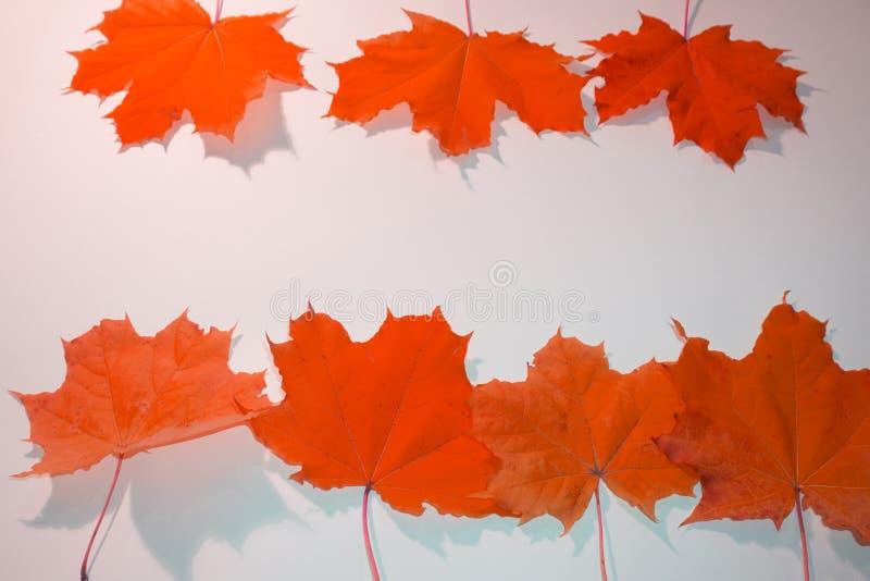 Herbstsaisonhintergrund, gelbe Ahornblätter auf weißem Hintergrund mit Kopienraum stockbilder