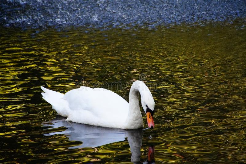 Herbstseeschwan-Naturreflexion stockbilder