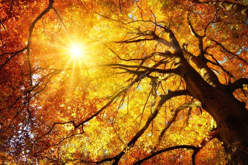 Herbstsonne, die durch einen majestätischen Buchenbaum scheint lizenzfreie stockfotos