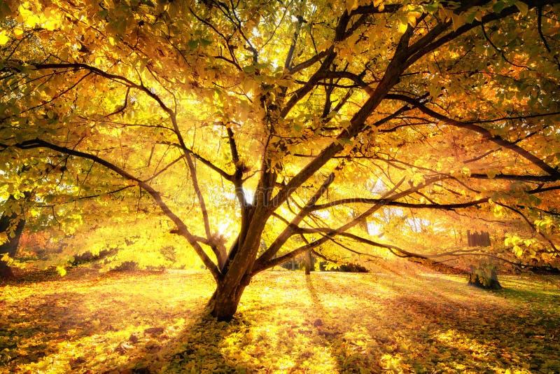 Herbstsonne, die einen schönen Baum verzaubert lizenzfreie stockfotografie