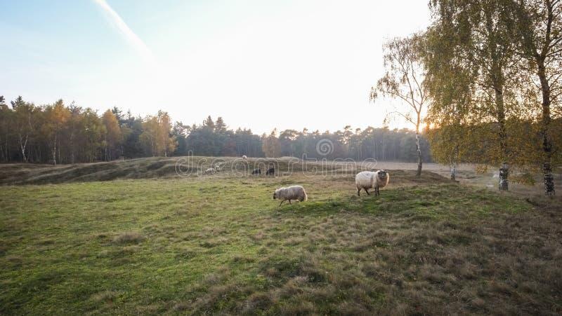 Herbstsonnenuntergang mit Schafen lizenzfreie stockfotografie
