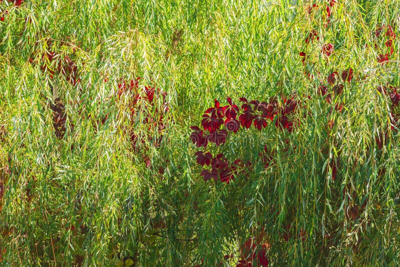 Herbststimmung, Jahreszeiten Der Hintergrund, der von der Weide natürlich ist, verzweigt sich stockfoto