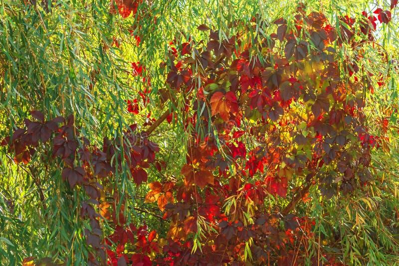 Herbststimmung, Jahreszeiten Der Hintergrund, der von der Weide natürlich ist, verzweigt sich lizenzfreie stockfotografie