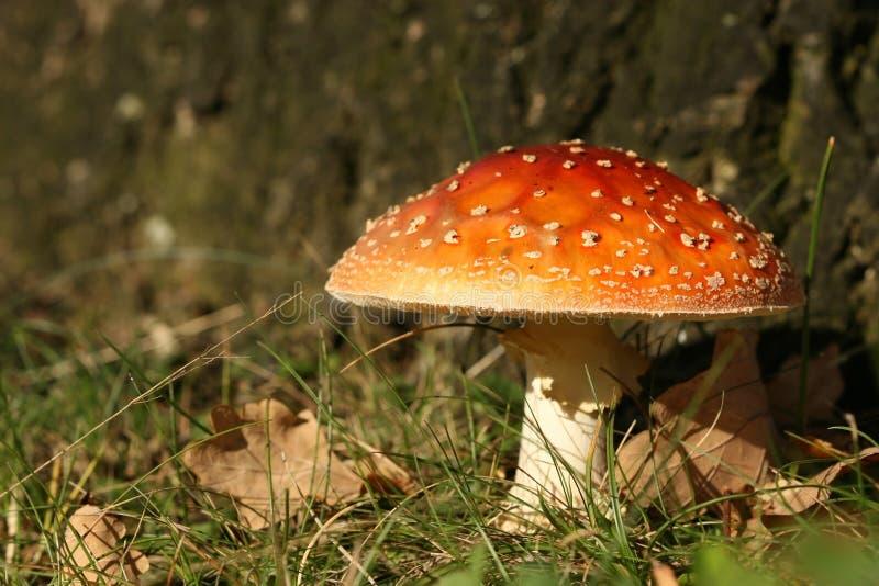 Herbstszene: Toadstool stockfotografie