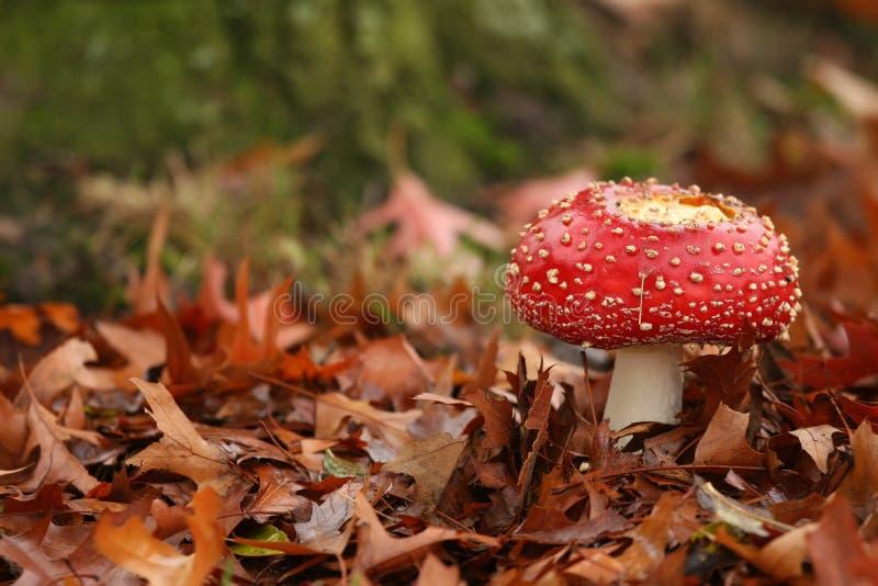 Herbstszene: Toadstool auf einem Gebiet der Blätter stockfoto