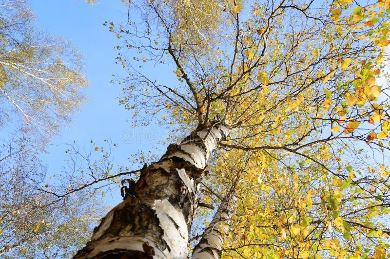 Herbstwald Birchs im gelben Kleid stockfoto