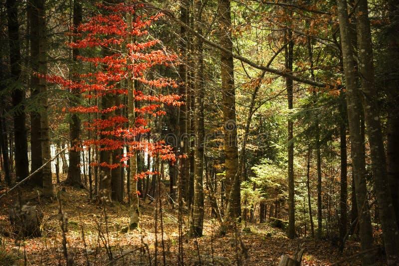 Herbstwald und roter Baum stockbilder