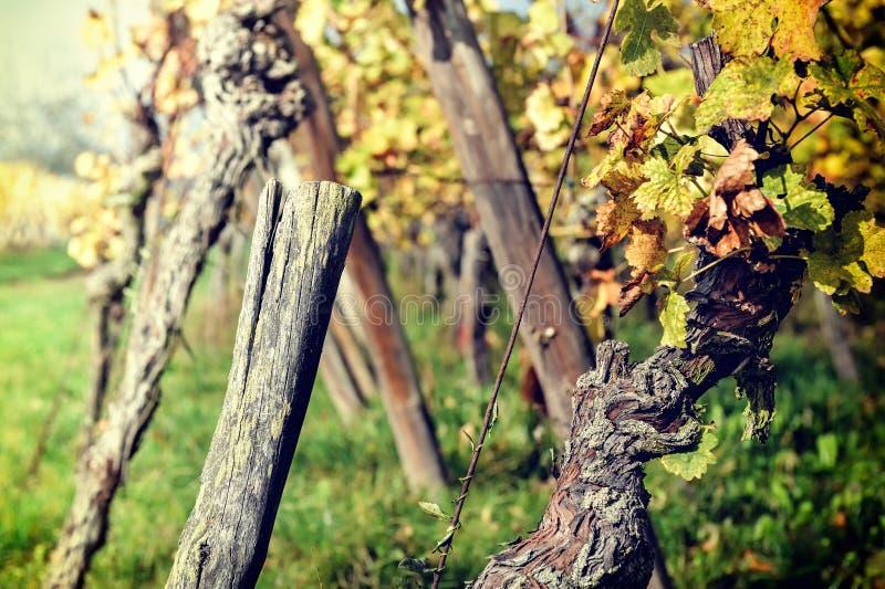 Herbstweinberg nach Ernte stockbilder