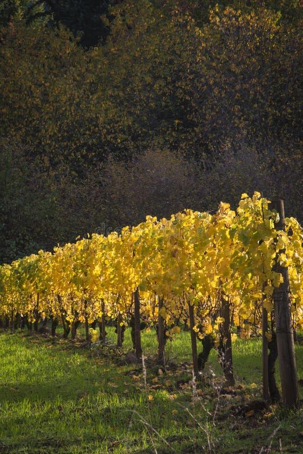 Herbstweinberge, Willamette-Tal, Oregon lizenzfreies stockbild