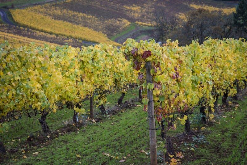 Herbstweinberge, Willamette-Tal, Oregon lizenzfreie stockfotos