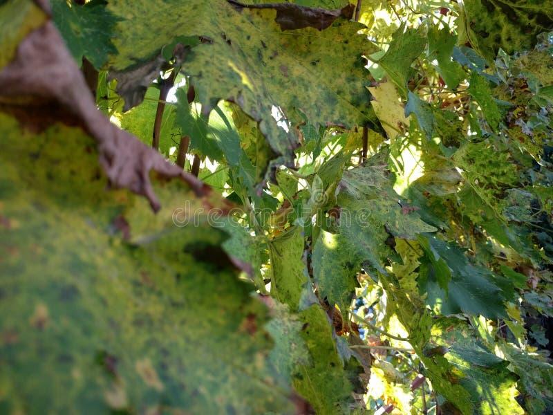 Herbstweinblätter gegen Sonnenunterganghintergrund lizenzfreies stockbild