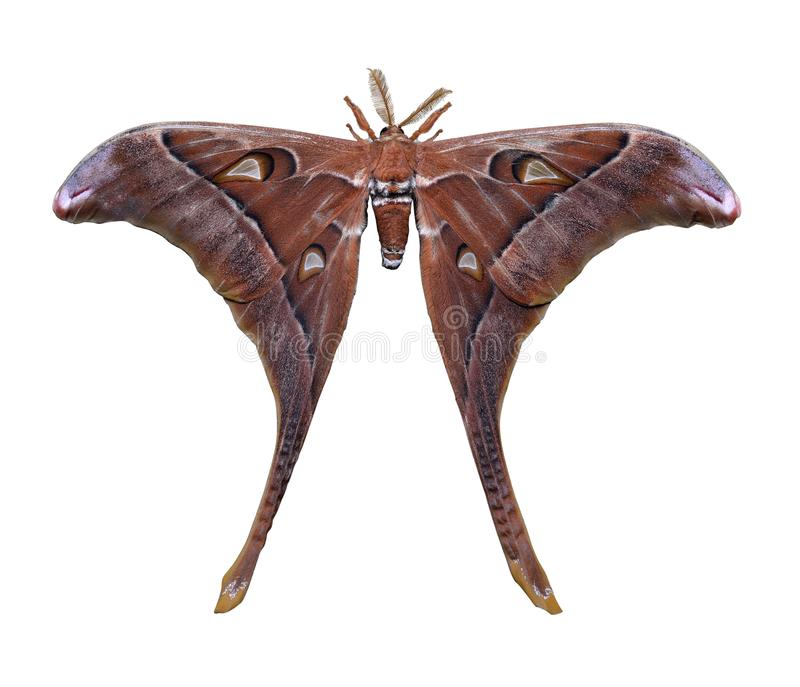 Hercules Moth op witte achtergrond wordt geïsoleerd die royalty-vrije stock foto's
