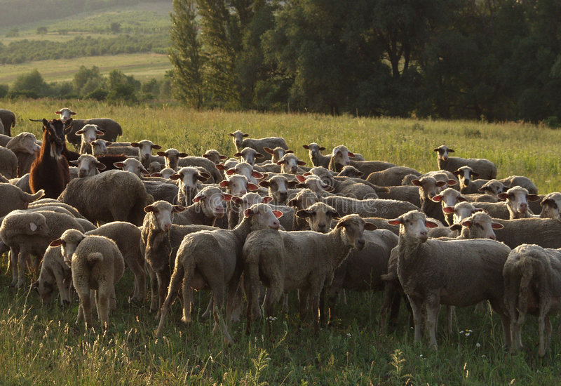 Download Herd stock photo. Image of many, flock, drove, rural, fold - 89976