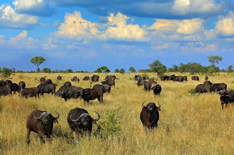 Herd of African buffalo on the meadow, big animal in the nature habitat in Botswana, Africa. African landscape with big grey stock photos