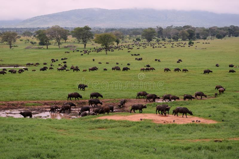 African Buffaloes at a watering hole in Tsavo, Kenya. A herd of African Buffaloes at a watering hole in the Savannah Grassland against of Tsavo, Kenya, wild royalty free stock images