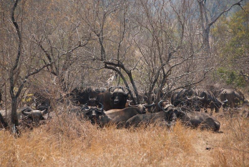 African buffalos. Herd of Wild African buffalos in savannah stock images