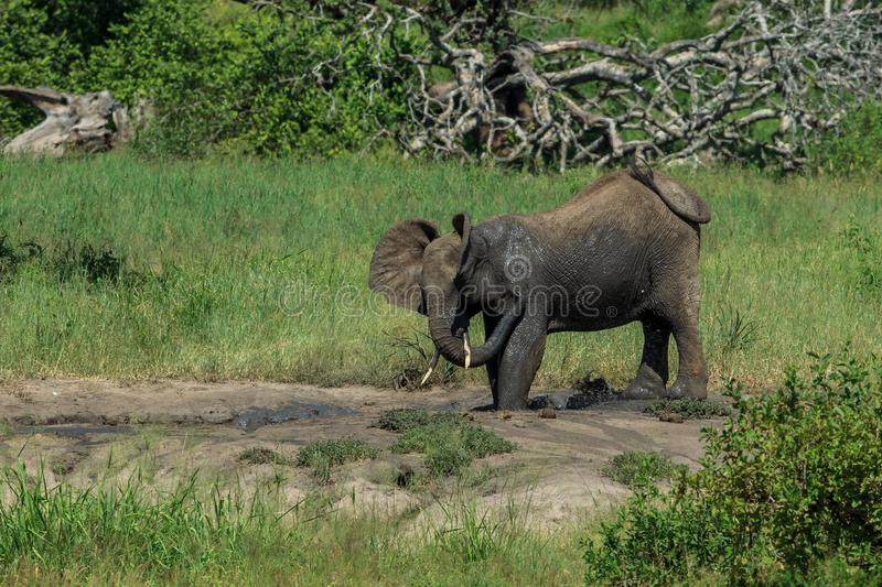 An African Bush Elephant having a mud bath royalty free stock photo