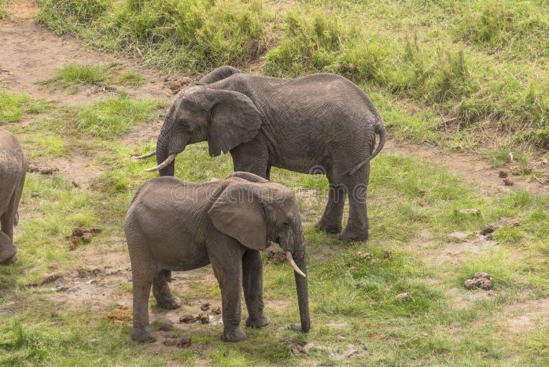 Herd of African Bush elephants royalty free stock photos
