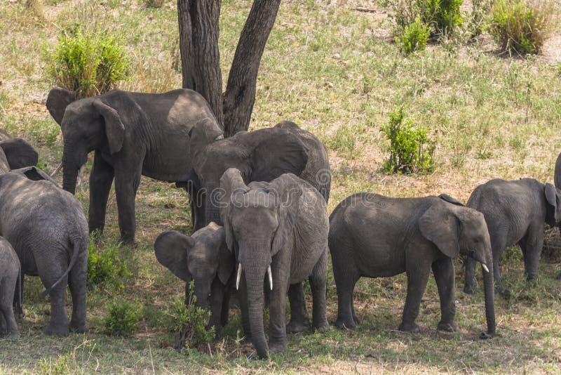 Herd of African Bush elephants stock photography