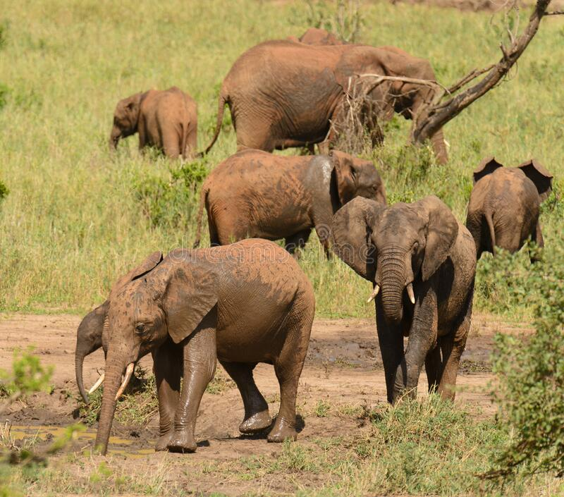Family group of African Elephant stock image