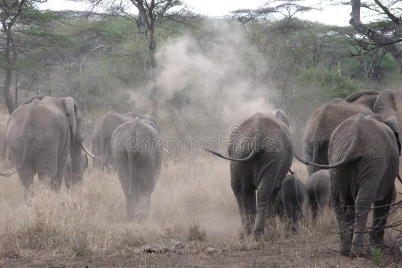 Download Herd of African Elephants stock image. Image of elephants - 8448337