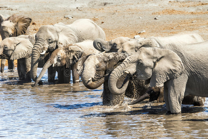 Herd of african elephants drinking and bathing royalty free stock image