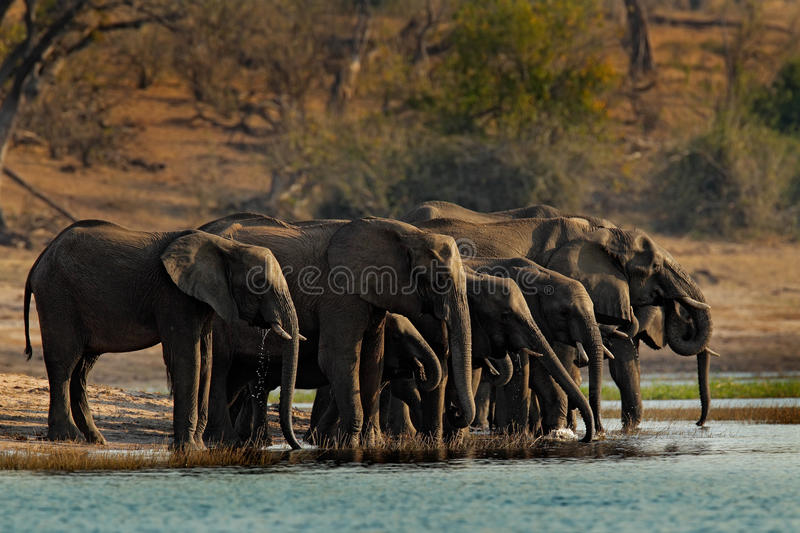 A herd of African elephants drinking at a waterhole lifting their trunks, Chobe National park, Botswana, Africa stock photo
