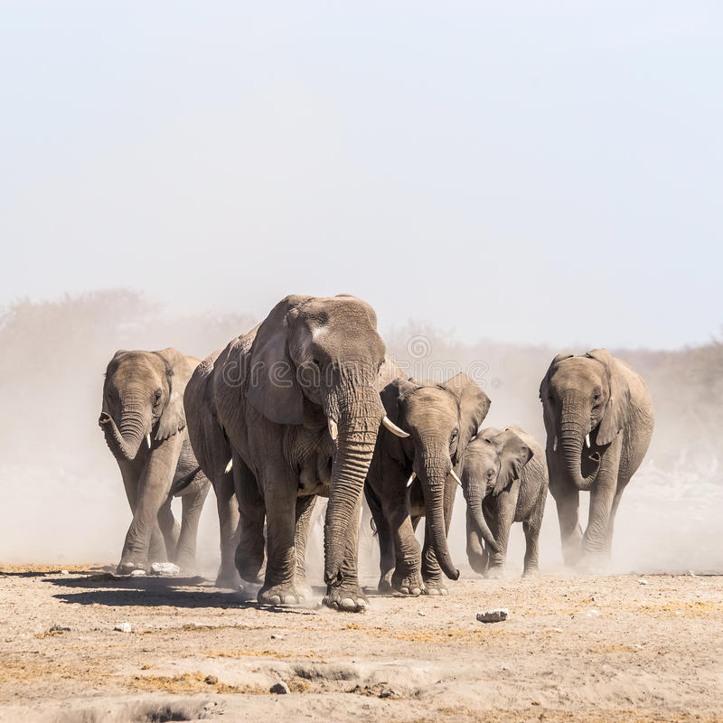 A herd of african elephants in Etosha national park royalty free stock images