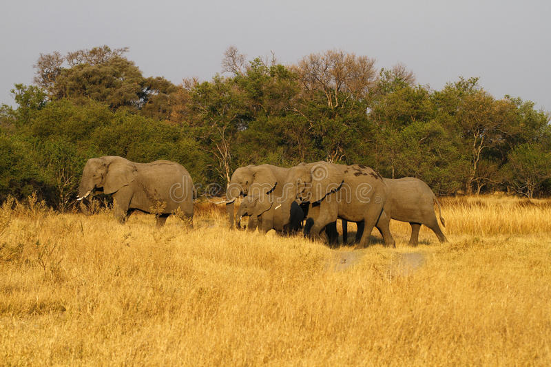 Herd of African Elephants. Family of African Elephants cooling down stock photo