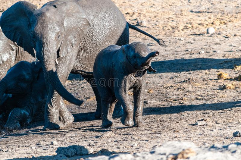 Close up of a Herd of African Elephants Bathing and Drinking in a Waterhole. A herd of African Elephants -Loxodonta Africana- bathing in a waterhole in Etosha stock images