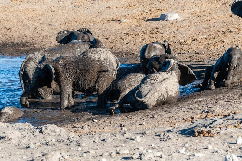 Close up of a Herd of African Elephants Bathing and Drinking in a Waterhole. A herd of African Elephants -Loxodonta Africana- bathing in a waterhole in Etosha royalty free stock photography