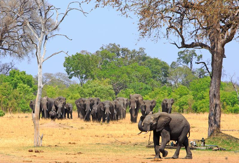 Beautiful scene of a herd of elephants walking out from thick forest out onto the open african plains in Hwange National Park stock images
