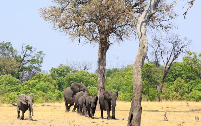 Herd of African Elephants walking out from the Bush across the dry yellow savannah royalty free stock image