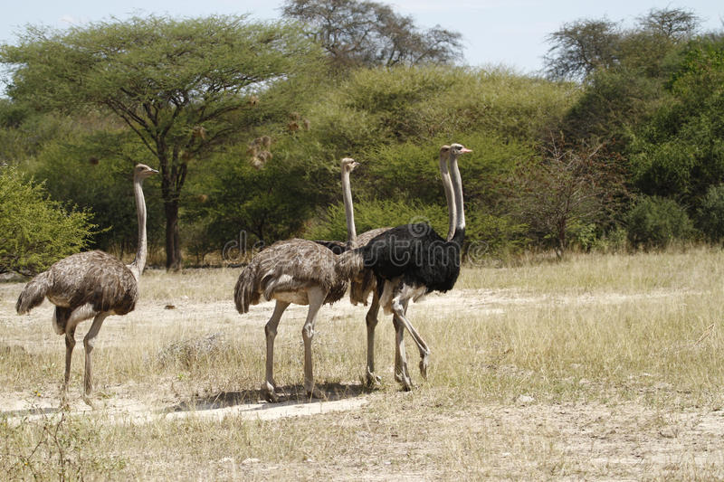 Herd of African Ostrich stock images